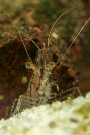 Transparent Japanese shrimp, Caridina japonica on the freshwater pond