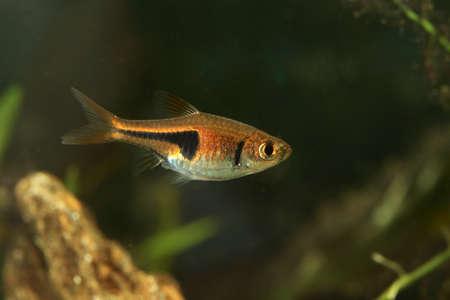 Lambchop rasbora, Rasbora espei in the freshwater aquarium