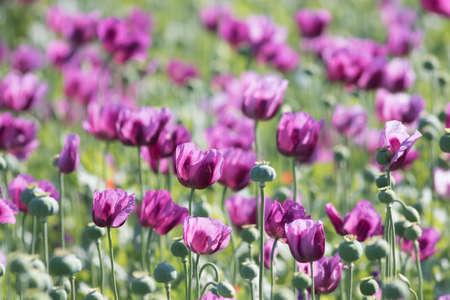Field of pink opium poppy in Afganistan Foto de archivo