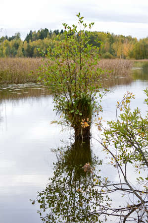 stanchion: Alder tree growing on the stanchion in the river.Forest and a bed of reeds in background