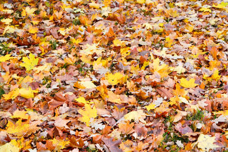 sentimental: Maple and oak leafs in late autumn.