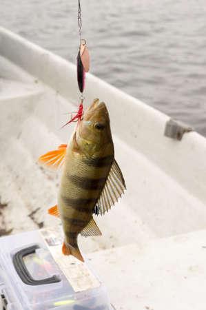 Perch fishing in the lake in Finland.