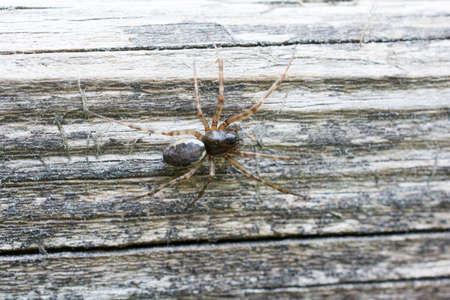 araneae: Spider Neriene montana