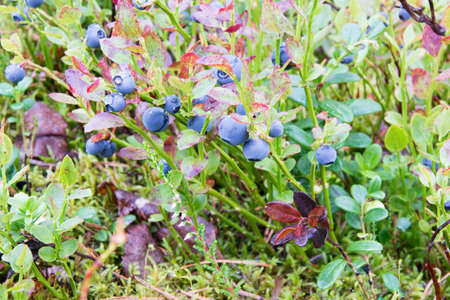 bilberry: Bilberry shrub in the woods in Finland.