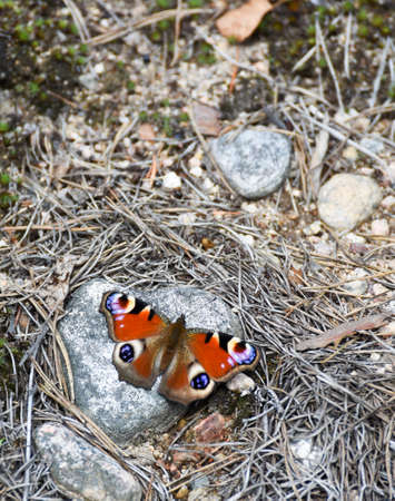 nymphalis: European peacock colorful butterfly resting on a stone.