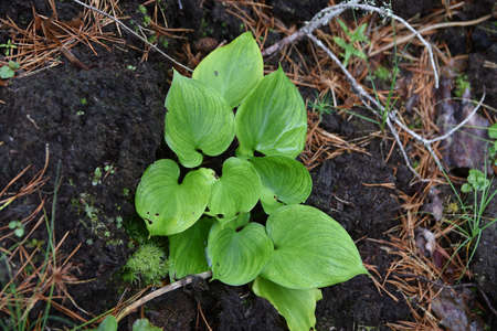 swamps: Bog arum, grows in swamps. Poisonous. Stock Photo