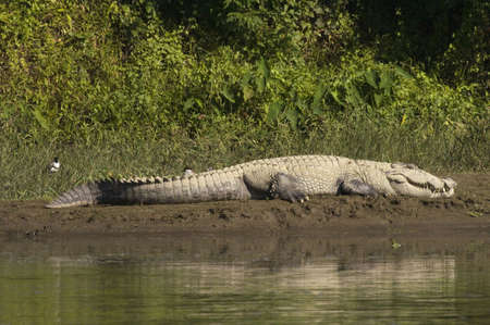 river bank: Huge Crocodile  lies on the bank, basking in the sunshine in Nepal