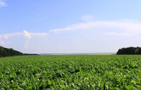 cabbage: Suiker bieten veld Stockfoto