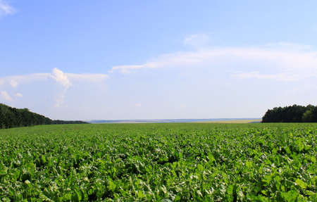 Zuckerrüben-Feld