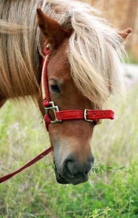 Een portret van een shetland pony met gras in de mond Stockfoto
