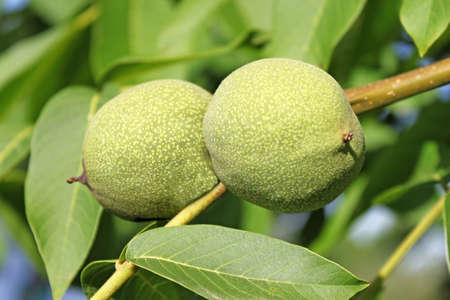 Green walnut pair between leaves Stock Photo