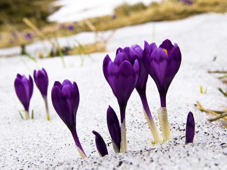 krokus: Bloemen paarse krokus in de sneeuw, lente landschap