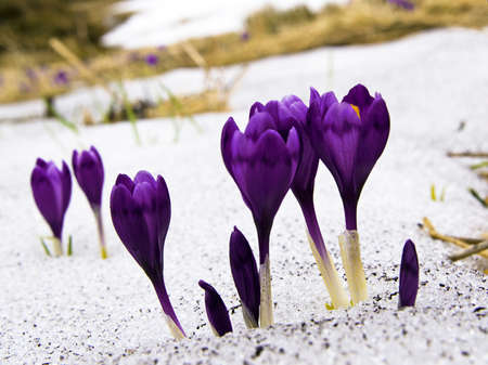 saffron: Flowers purple crocus in the snow, spring landscape Stock Photo