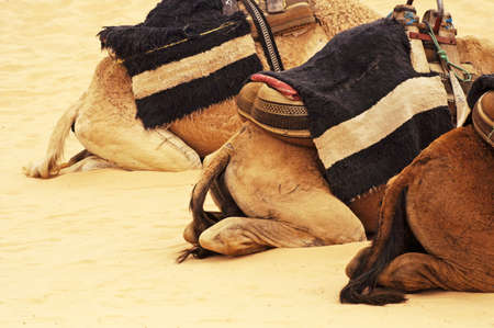 Camels backs in the Sahara, Tunisia