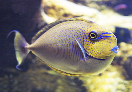 exoticism saltwater fish: Fish with yellow head Stock Photo