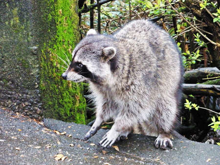 Racoon in the park photo