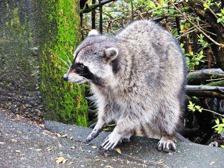 racoon: Racoon w parku Zdjęcie Seryjne