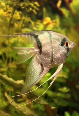 Angelfish Stock Photo - 12990142