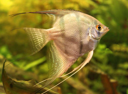Angelfish Stock Photo - 12990144