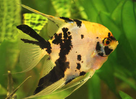 exotic fish: Angelfish