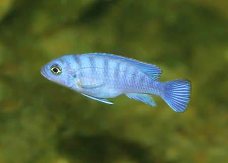 Blue fish photo
