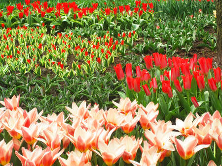 Keukenhof - Largest flower garden in Europe - Holland photo