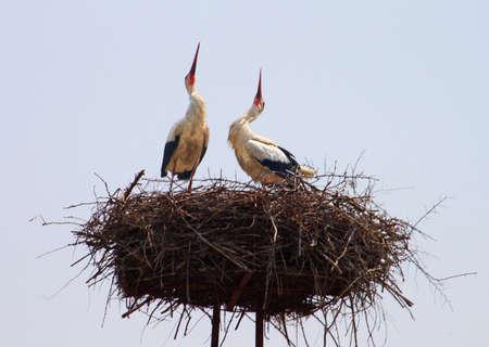 White storks in the nest photo