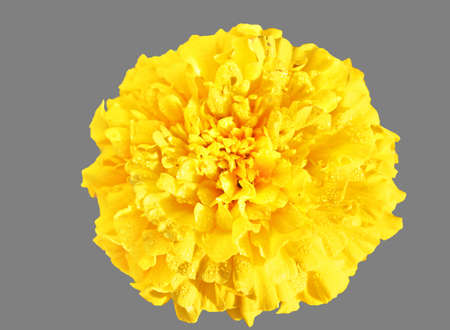 Flor Amarillo, Cal�ndula photo
