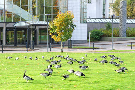 Barnacle Geese Branta leucopsis near office center in Stockholm, Sweden photo