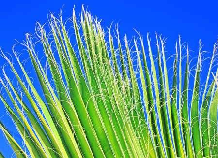 Leaf of a palm tree against the clear blue sky Stock Photo