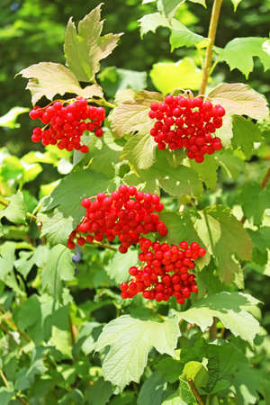 guelder: Bunches of red viburnum berries