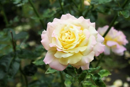 Gentle tea rose in the garden