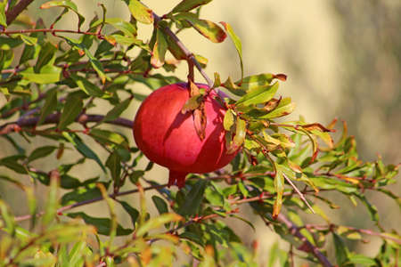 Branch with ripe pomegranate photo