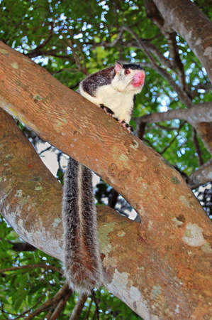 grizzled: Grizzled Giant Squirrel  Ratufa macroura