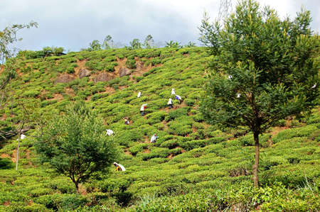 Tea pickers at work near Kandy, Sri Lanka  Editorial