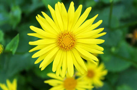 Summer yellow flowers Doronicum  Ornamental plant in the Asteraceae family photo