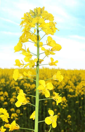 fenceline: Canola field, yellow rape flowers, rapeseed Stock Photo