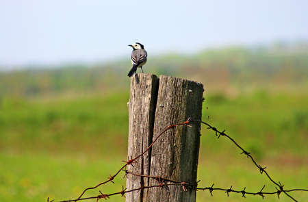 White wagtail is on a post with barbed wire photo