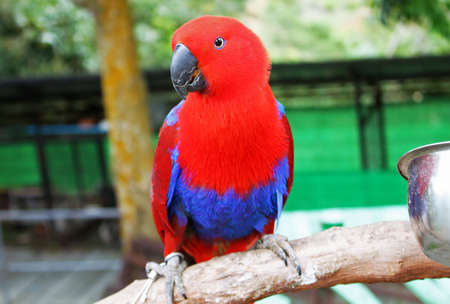 eclectus roratus: Colorful red parrot, a female Eclectus parrot Stock Photo