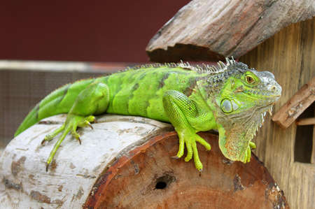 Green iguana in terrarium photo