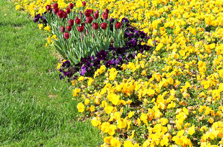 Tulips and  Pansies on the flowerbed photo