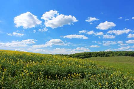fenceline: Canola field yellow rape flowers rapeseed