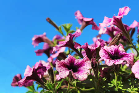 Purple petunia flowers over blue sky in spring time Stock Photo