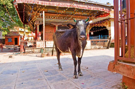 god's cow: Cow near a Buddhist temple, Kathmandu, Nepal