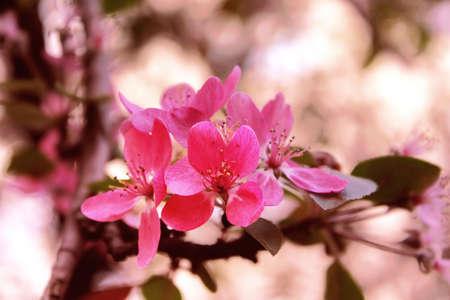 crab apple tree: Malus, crab apple tree blossom Stock Photo