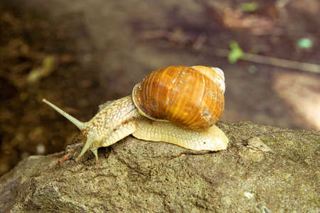 slithery: Snail on the stone Stock Photo