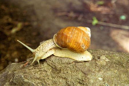 slithery: Snail on the stone Stock Photo