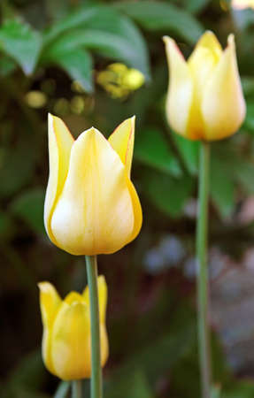 yellow: Yellow tulips