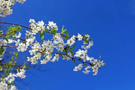Cherry flowers blooming in springtime