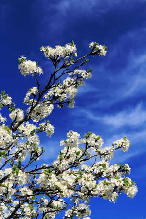 bright sky: Cherry flowers blooming in springtime